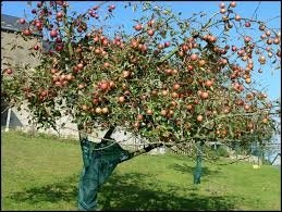 PLANTER DES ARBRES FRUITIERS - 162 votes